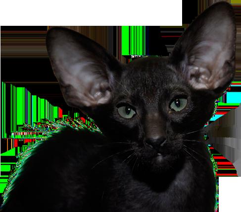 Pola Elizejskie Hodowla Kotów Rasowych Syjamskie Orientalne Syberyjskie